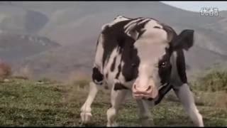 Video lucu sapi VS manusia