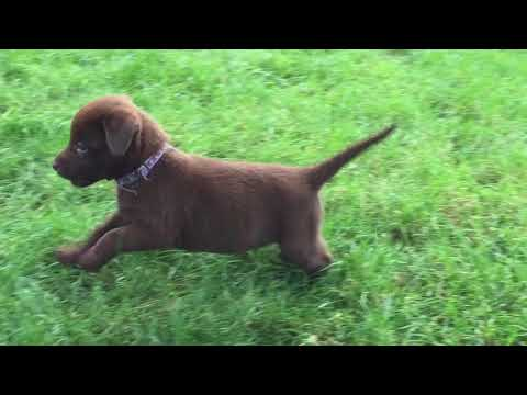 Chocolate Labrador Puppies Playing At 7 Weeks