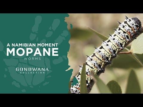 Mopane Worms a Namibian Delicacy