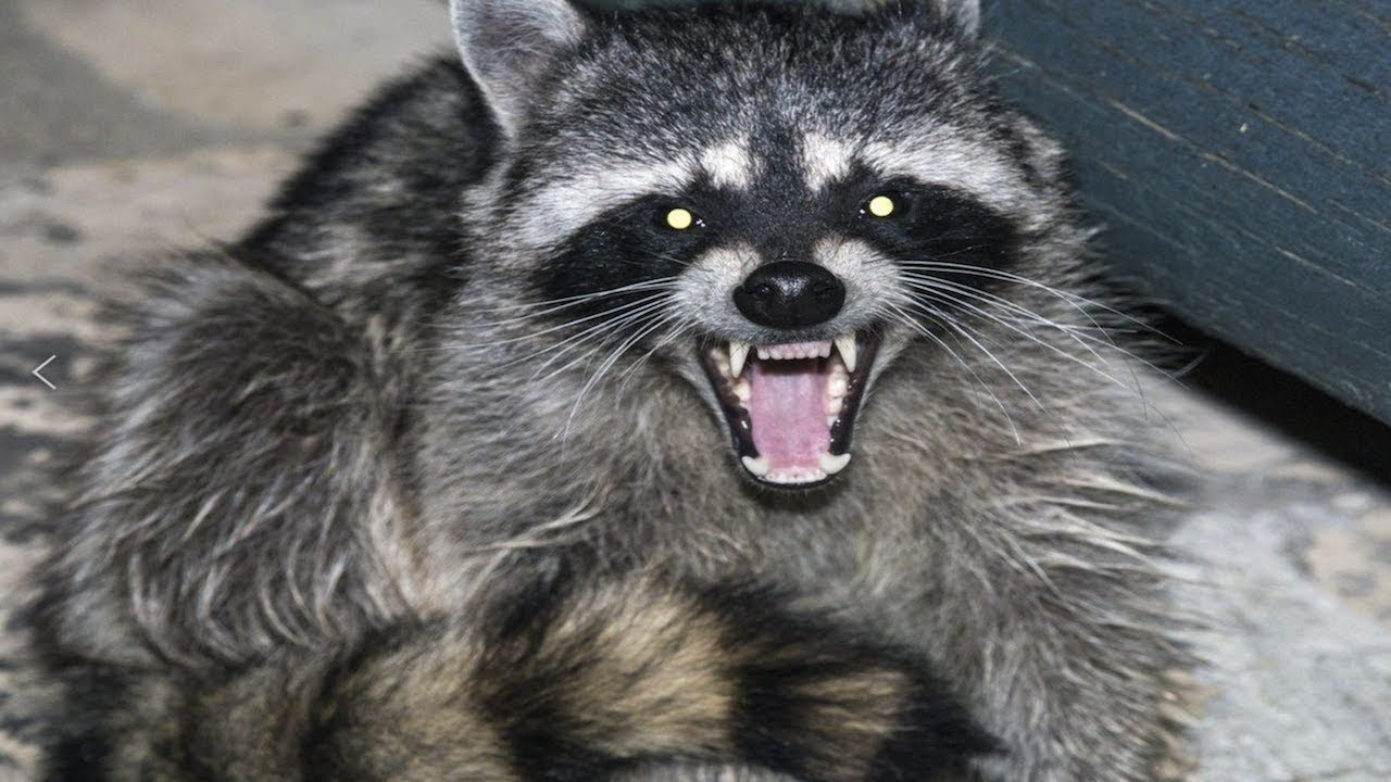 A Big Raccoon Was In My Yard Ready To Attack Me Just Now ...