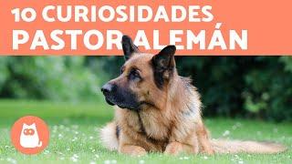 10 CURIOSIDADES DEL PASTOR ALEMÁN