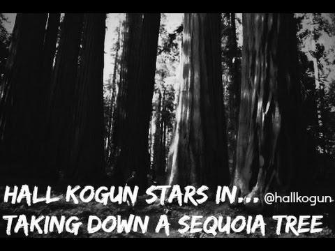 Hall Kogun takes down a Sequoia Tree