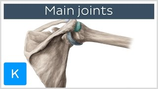 Main joints of the Human body (preview) - Human Anatomy |Kenhub