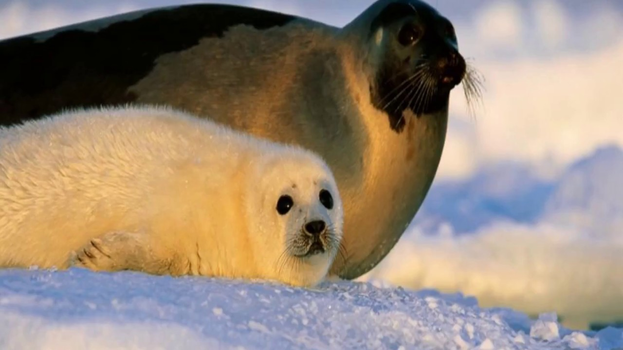 Baby Newborn Youtube Interesting Facts About Harp Seals Youtube