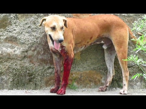 Dog covered in blood from huge laceration rescued