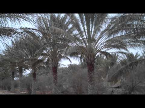 Deglet Noor Date Palm Tree Ouled Djellal Algeria