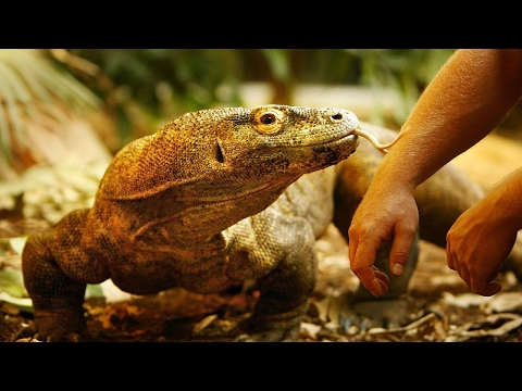 Komodo dragon blood may help fight superbugs