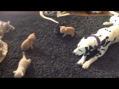 Dalmatian Puppies meet the Kittens. Take 5. Attack of the kittens!