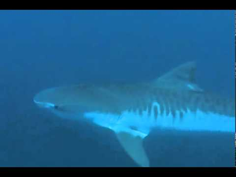 Diving With Sharks - Offshore Africa Port St. Johns