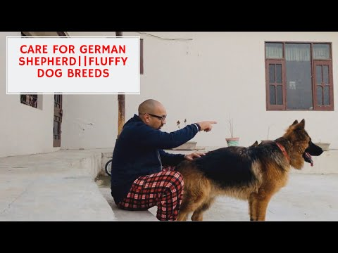 basic-care-for-german-shepherd-|-fluffy-puppy's-|-dog-breeding-farm-|-pet-care-|-harwinder-s-grewal