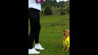 Yorkshire Terrier Agility - Peggy Jumps