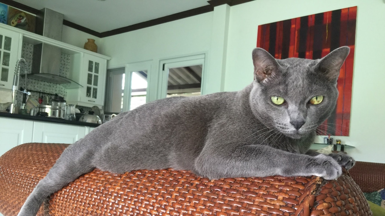 Tiki Korat Cat Live Stream