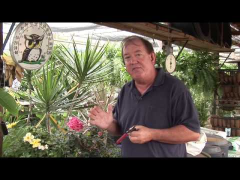 Growing Roses in the Subtropics