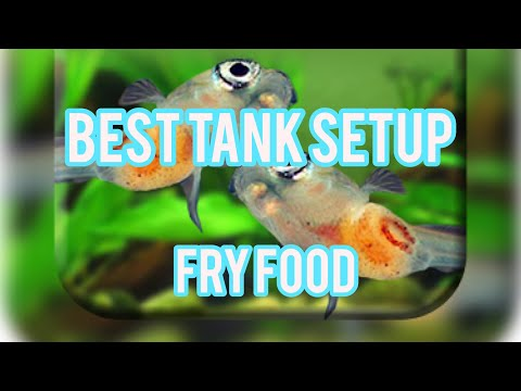 betta-fry:-best-tank-setup-&-live-food