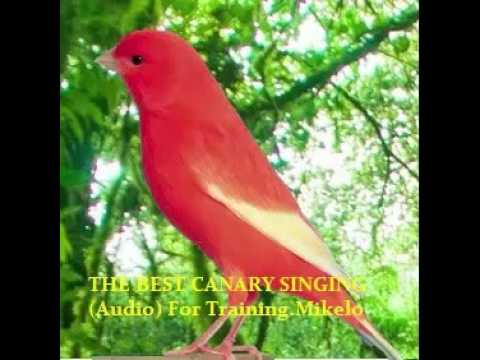THE BEST CANARY SINGING (Audio) For Training - Serinus canaria