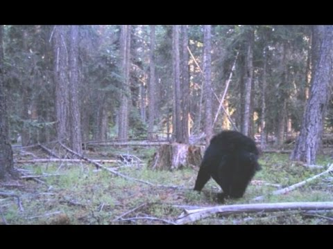 Sasquatch/Bigfoot Creature Discovered on Camera 2017 (Real ...