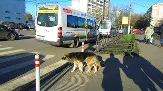 Собака переходит дорогу, учитесь!