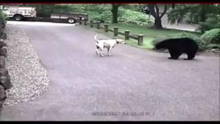 Anjing Pemberani, Usir Beruang Liar Masuk Pemukiman