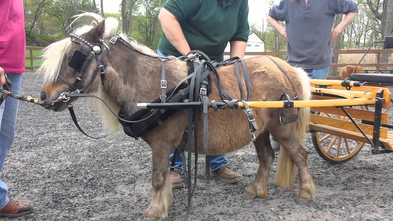 hight resolution of  driving charisma how to harness and drive a pony or miniature horse youtube