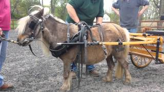 """Driving Charisma"" - How To Harness and Drive a Pony or Miniature Horse"