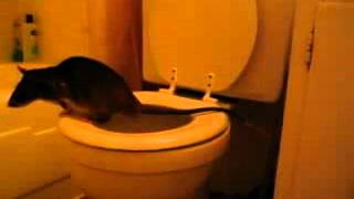 GIANT Toilet Trained Rat Must See