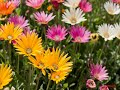 How to Grow African Daisy Flower at home