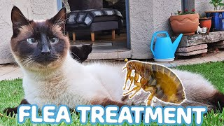 Treating Siamese cats for ticks and fleas