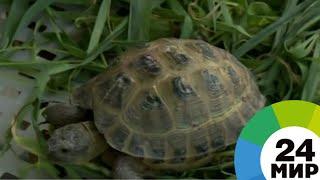 Среднеазиатские черепахи под угрозой: как спасают степных обитателей - МИР 24