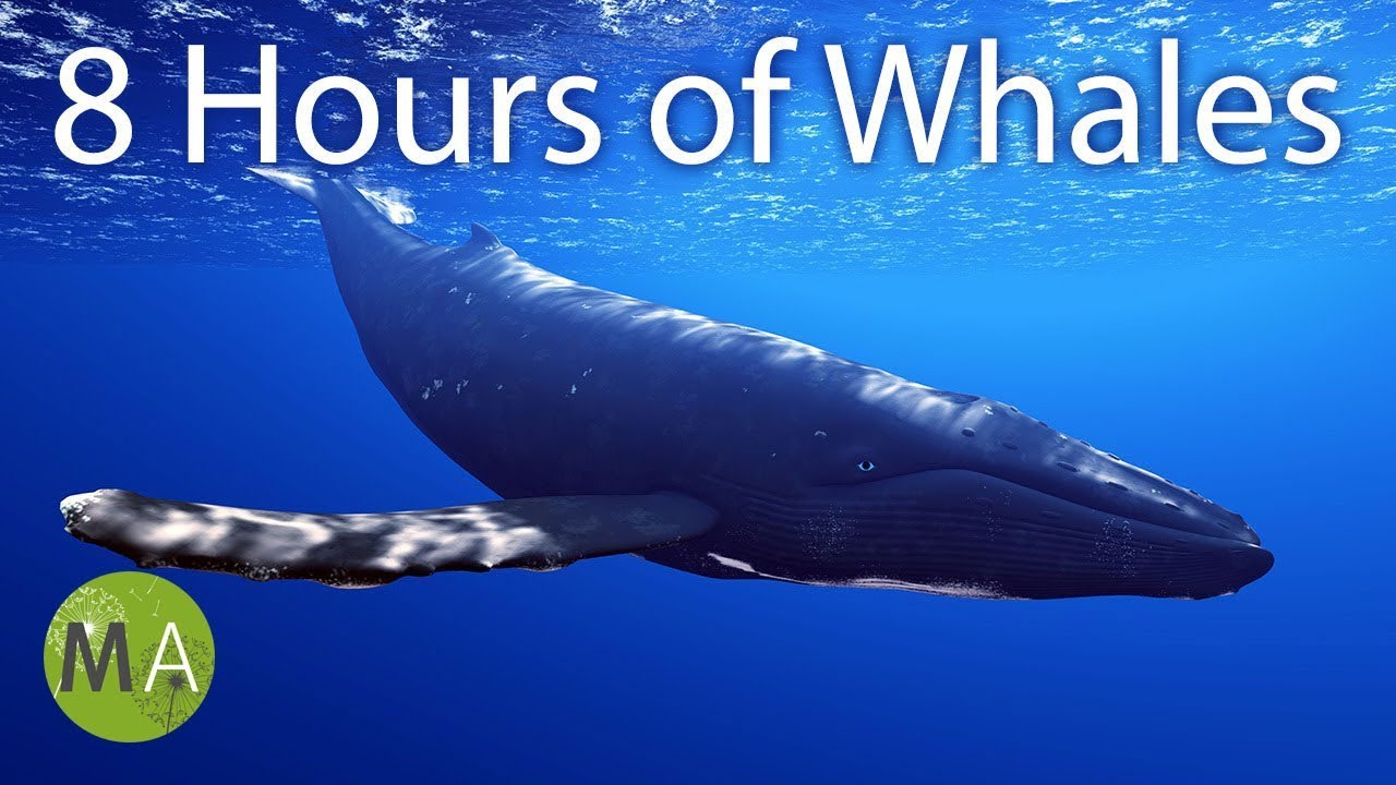 8 Hours of Whale Sounds Deep Underwater for Sleep and ...
