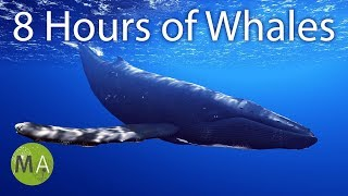 Gambar cover 8 Hours of Whale Sounds Deep Underwater for Sleep and Relaxation