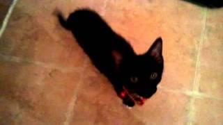 Kitten Toilet Training: No More Litter Box!
