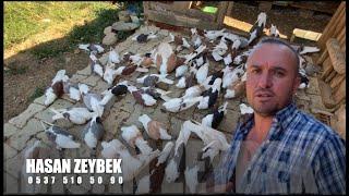 Ödemiş Süslü Güvercinleri Hasan Zeybek