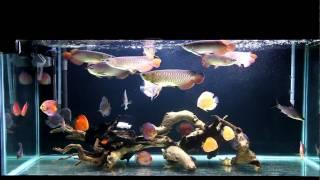 Gold Aquarium Blood red arowana and discus