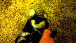 Playing With Deeray, A Six Week Old Miniature Schnauzer