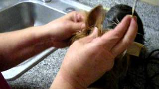 Taping A Yorkshire Terrier's Ears Up