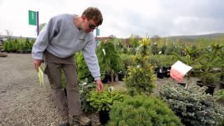 Conifers - The Street Smart Gardener