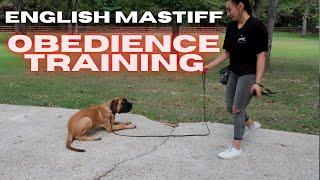 English Mastiff Puppy Training