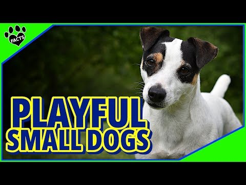 Playful Small Dog Breeds