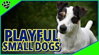 Playful Small Dog Breeds