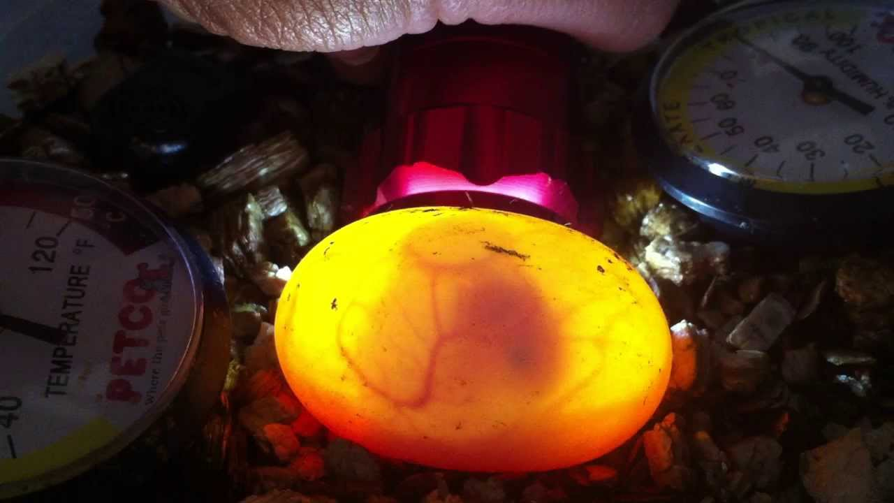 Candled Russian Tortoise Egg Estimated About 3 Weeks