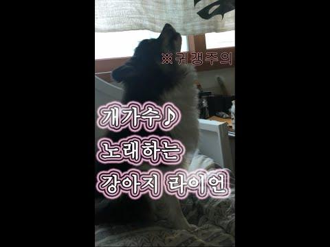 노래하는 강아지 라이언/개가수 파티포메라니안 라이언, Singing dog