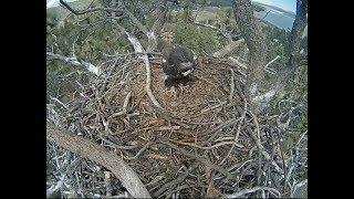 Big Bear Eagle Cam ~ Storm's Stick ~ Nice Landing On Branch 5.15.18 thumbnail