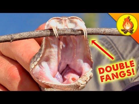 Double Fanged Rattlesnake!