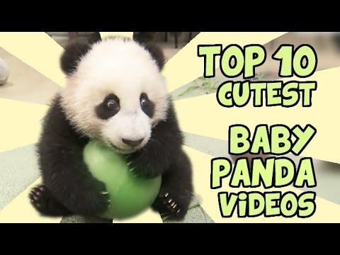 TOP 10 CUTEST BABY PANDA VIDEOS