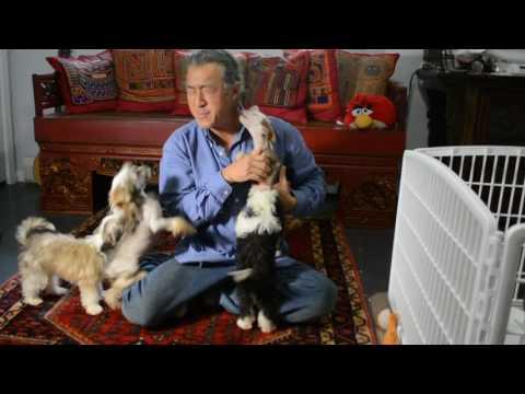 Mythic Chauncey true hairless Chinese Crested kissing yo yo puppy