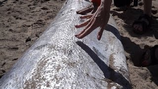 Repeat youtube video Why Are Deep Sea Oarfish Appearing On Beaches Around The World?
