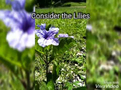 Consider the Lilies of the field (Bunga bakung di padang ...