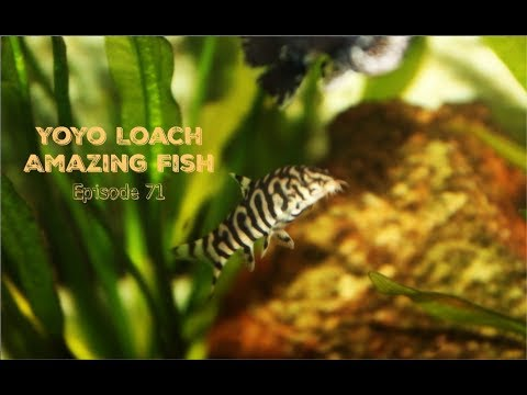 Yoyo Loach: Amazing Fish