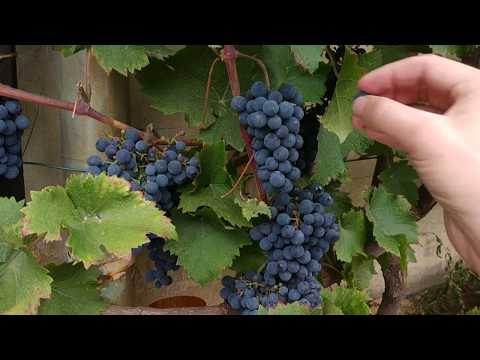 Как собирать виноград для вина