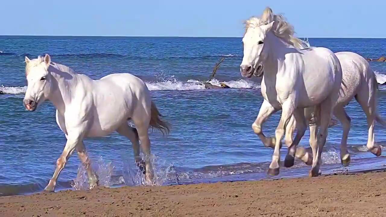 abbastanza Cavalli Bianchi che corrono in riva al Mare - YouTube TD03